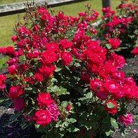Beautiful rose bushes near the entrance.