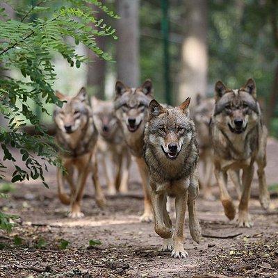Erlebe die Wölfe - im Wolfcenter Dörverden bei Bremen!