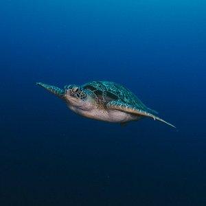 A green turtle cruises Turtle Heaven!