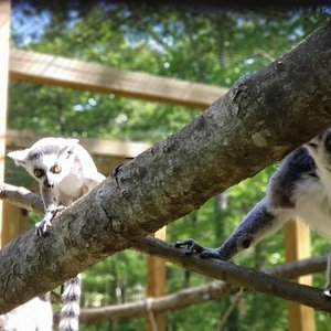 Momo and Dad the ringtail lemurs hanging out.