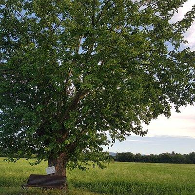 Un raro esempio di gelso con Rami di ciliegio nel parco della Reggia di Rivalta (Re)