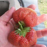 Another beautiful strawberry from the Jordan Station farm. Cant wait to pick again.