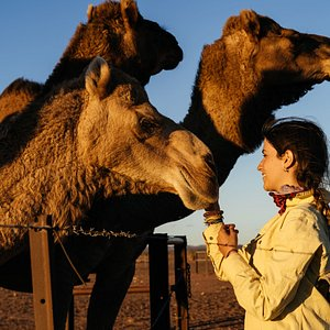 Alba meets some of the camels in the yards on Beltana Station.