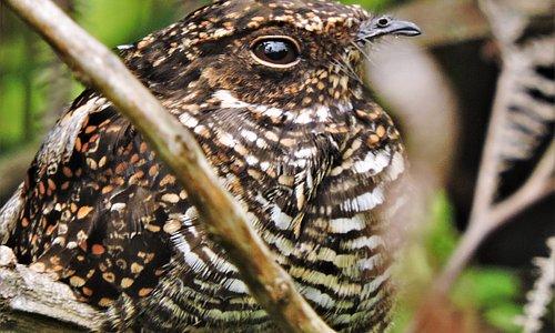 Blackish Nightjar Safari llanero, birding tours, birding trip, aves silvestres, piedemonte llanero, viajes, expediciones, photography wildlife, viajes de fotografía, birds, birdwatchig tours, birdwatching trip, sabanas,