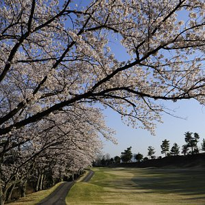 兵庫県 武庫の台ゴルフの名物桜並木ホール