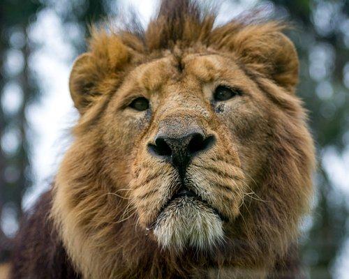 Leão Asiático