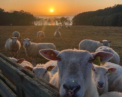 Fåren i fårahagen, en av Helsingborgs finaste utsikter vid Sofiero Gård?