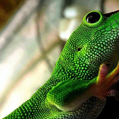 Stor daggekko fra Madagaskar