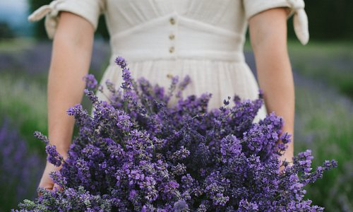 Experience fragrant, fresh lavender straight from the field.