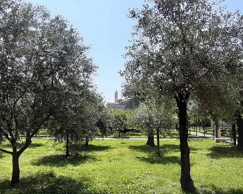 """uliveto e in fondo il campanile della chiesa """" Maria di Nazareth"""" la chiesa dei Carmelitani Scalzi"""