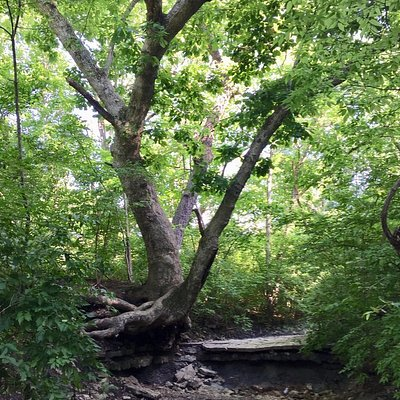 A tree standing precariously on creekbank