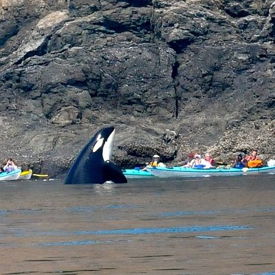 A curious young orca whale spyhops next to a Sea Quest Kayak Tour to get a better look. Join a Kayak Quest for Whales Today!