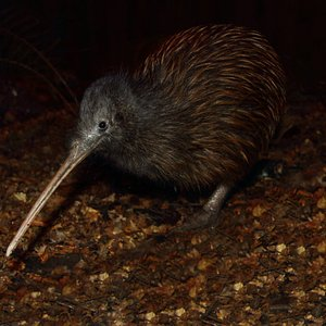 Atar, one of our North Island brown kiwi