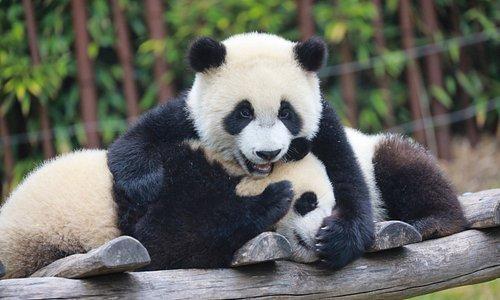 Bao Di et Bao Mei, les bébés pandas géants nés à Pairi Daiza.