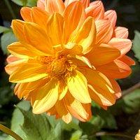 Soft colored dahlia