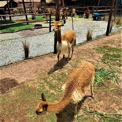 """Mini zoo and Andean animals at """"Manos de la Comunidad"""" near Cusco."""
