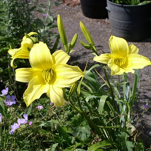 Day lilies and Geranium 'Blue CLOUD' I bought last year from Hoo House Nursery.