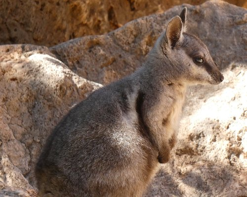 Rock wallaby - look on the gorge ledges