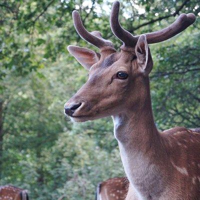 Die Hirsche können auf der weitläufigen Anlage im natürlichen Lebensraum beobachtet werden.