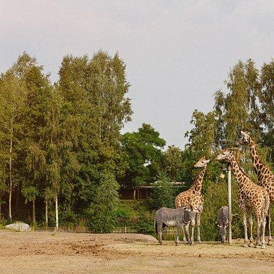 Giraffen & zebra's | Safaripark Beekse Bergen