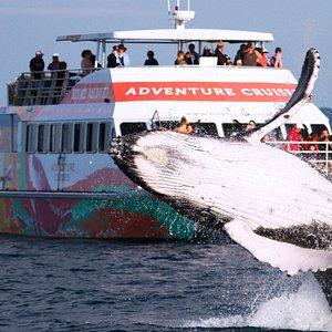 MV Amaroo and breaching humpback whale