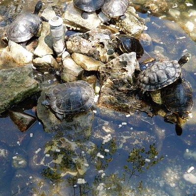 La vasca con le tartarughe