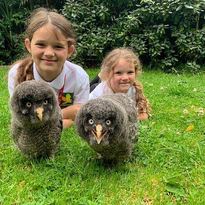 Baby Great Grey Owls