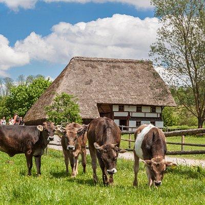 Das Museum bemüht sich den Bestand des Allgäuer Original Braunviehs durch Nachzucht zu erhalten.