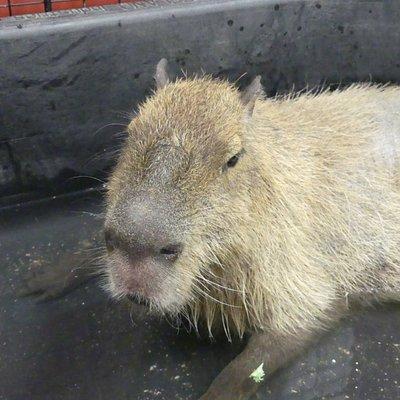 Hector, the Capybara.