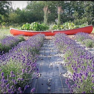 Lavender in bloom 2020
