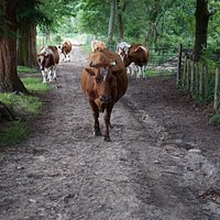 Daisy, our oldest cow, walking up the track for milking.