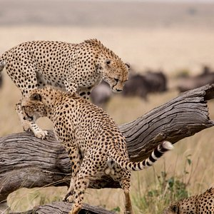 Cheetah at Masai Mara, Kenya - Features Africa Journeys