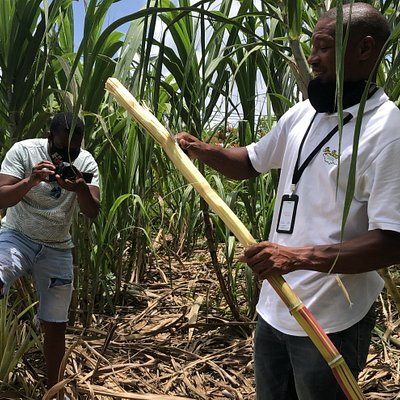 Ryan allowed us to taste some authentic sugar cane from his backyard.