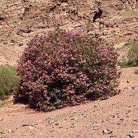 Pink wild desert flowers