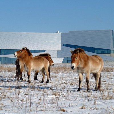 Przewalski-Pferde im Winter vor dem Forschungsmuseum Schöningen (J. Serangeli).