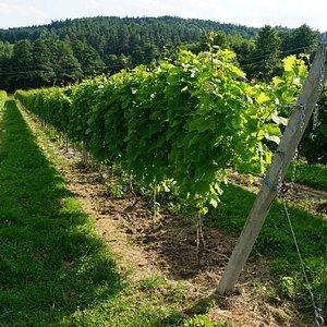 Widok na uprawę winorośli