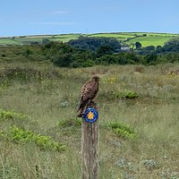 A kestrel spotted