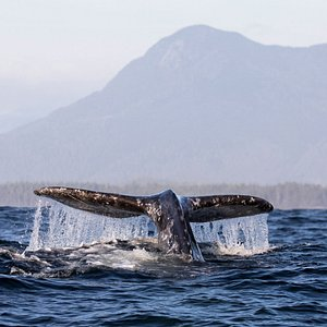 Whale Watching Ocean Outfitters Carbon Neutral Adventure Tofino