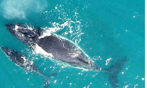 Humpback Whales migrate from the far Northern and Southern hemispheres to give birth in our warm, safe waters. We have the longest migratory whale season known world wide since e receive two different populations!