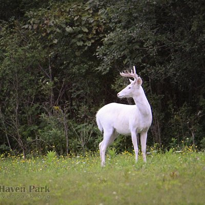 A majestic white buck stands on the edge of the forest at Deer Haven Park in Romulus, NY.