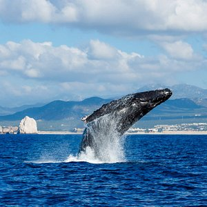 Adult humpback whale breaching in front of the Cabo San Lucas Bay