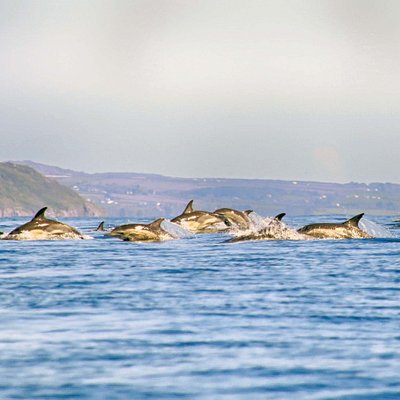 huge pod of common dolphin