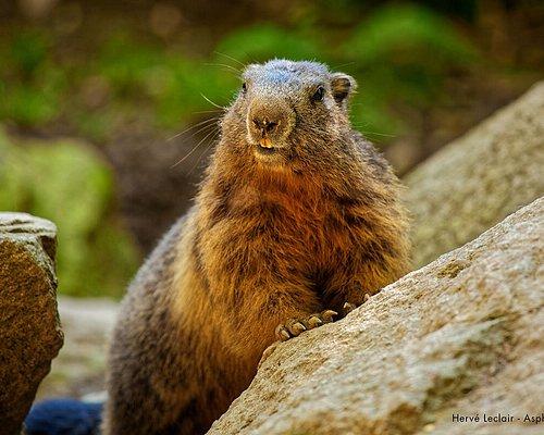 Les marmottes : véritables stars du parc !