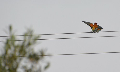 Monastery Apostle Philip - Mating Bee-eaters 2