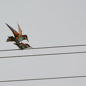 Monastery Apostle Philip - Mating Bee-eaters 3