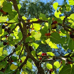 mulberries galore