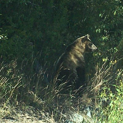 Bear along the road