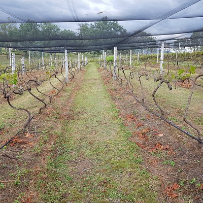 Pruned vines at Bunjurgen Estate - future fortified wine [port] from here this coming year 2021.