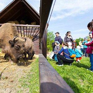 A park legnagyobb attrakcióját az európai bölények jelentik, melyek a Maros és a Sárrét közti terület régmúlt élővilágát idézik, hiszen ma már a Dél-Alföldön sehol sem élnek vadon.