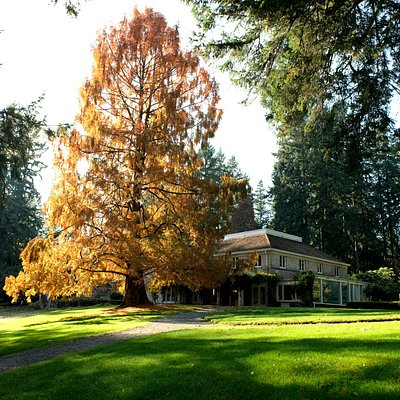 The Wagner House with Dawn Redwood in Fall